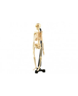 Skelet 46 cm.
