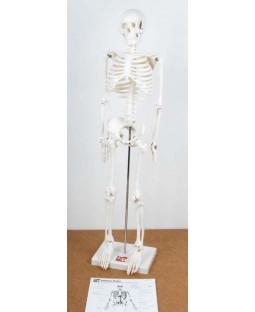 Skelet 85 cm.