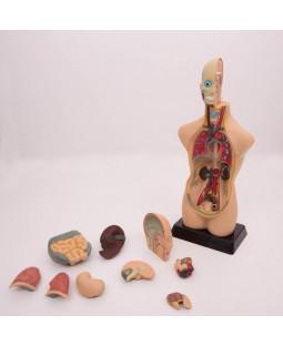 1/2 str. anatomisk torso