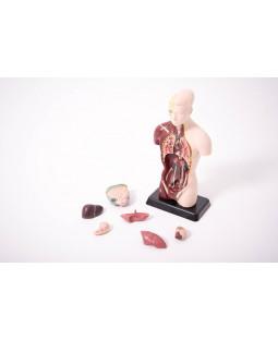 kvart skala anatomisk torso