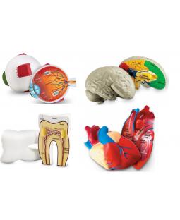 Anatomi sæt i skum