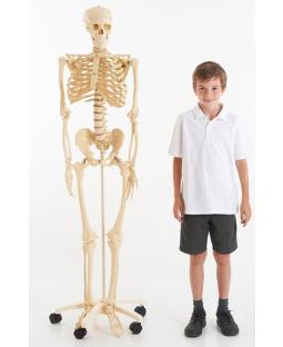 Skelet 160 cm.
